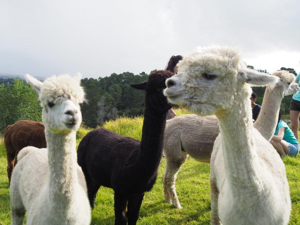 Lavendar-Hill-farm-alpaca