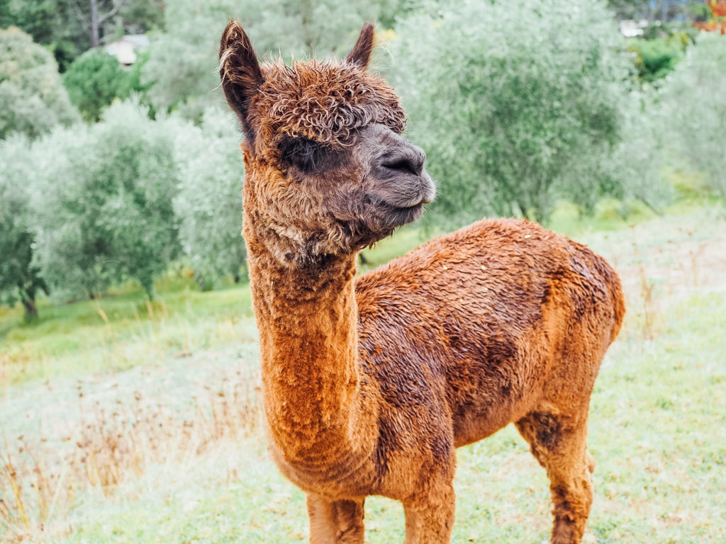 alpaca-lavendar-hill-farm-NZ