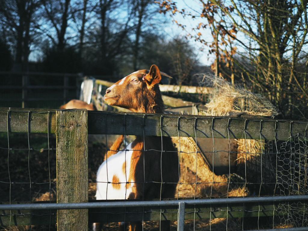 goat at farm Essex