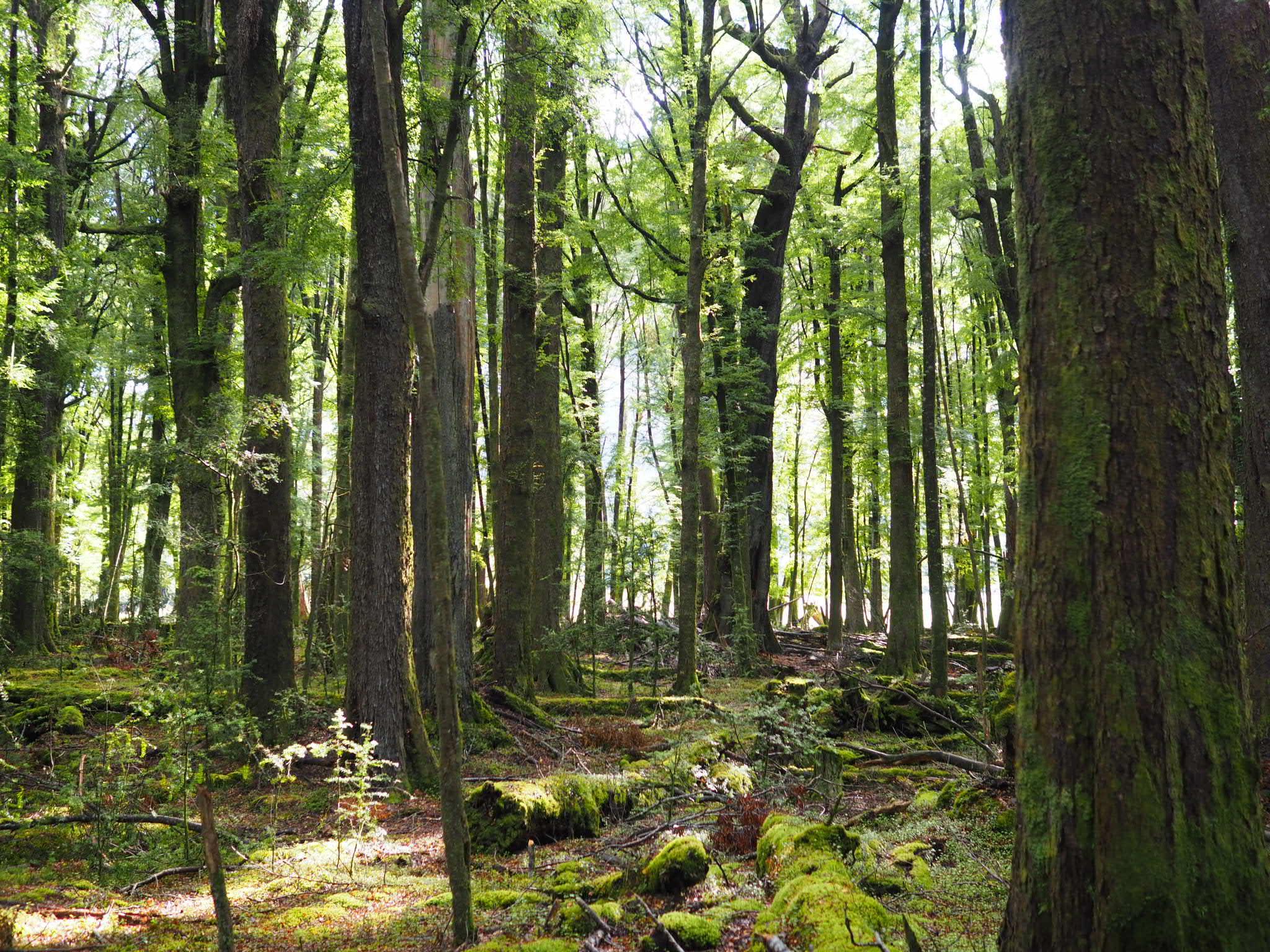 ancient beech forest